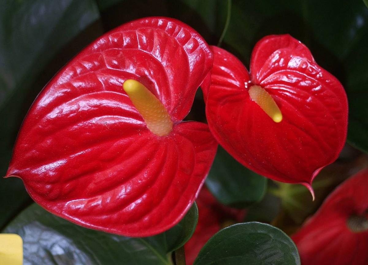 Plantas de interior con flor roja m s bonitas mundo flores - Plantas con flor de interior ...