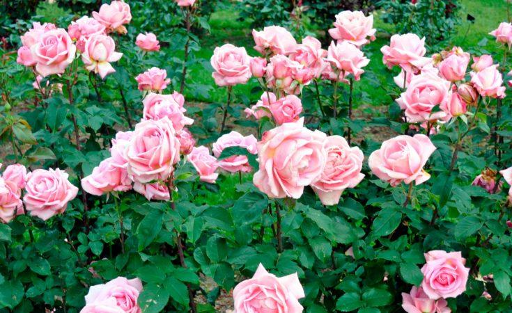 El cuidado de las rosas